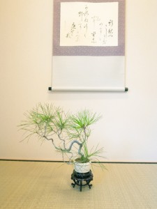 チャコボール盆栽
